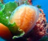 Aplidium pseudolobatum