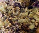 Pycnoclavella cf taureanensis