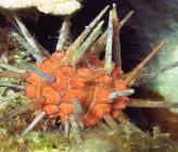 Stylocidaris affinis