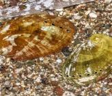Haliotis tuberculata subsp coccinea