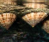 Patella rustica