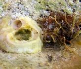 Vermetus triquetrus