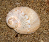 Notocochlis dillwynii