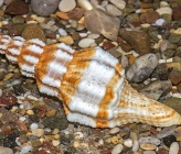 Aptyxis syracusana