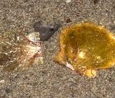 Flexopecten hyalinus