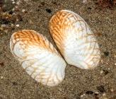 Venerupis geographica