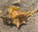 Bolinus brandaris