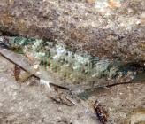 Ταωλαπίνα - θηλυκό