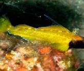 Κίτρινος τριπτερύγιος - αρσενικό