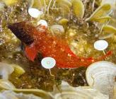 Κόκκινος τριπτερύγιος - αρσενικό, αναπαραγωγικά
