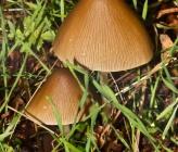 Coprinus silvaticus