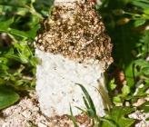 Phallus hadriani