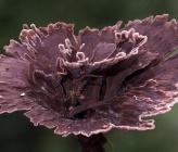 Thelephora caryophyllea