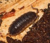 Trachelipus aegaeus