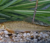 Barbus strumicae