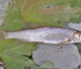 Chondrostoma vardarense