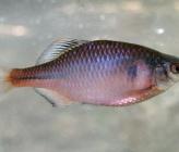 Rhodeus meridionalis