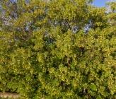 Acer monspessulanum subsp monspessulanum