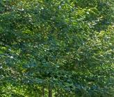 Alnus glutinosa subsp glutinosa