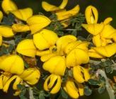 Ασπάλαθος - άνθη