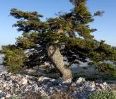 Juniperus oxycedrus subsp deltoides