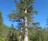 Pinus nigra subsp nigra