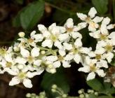 Βατομουριά η σταχτόχρωμη - άνθη