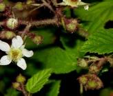 Σμεουρδιά - άνθη