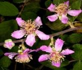 Κοινή Βατομουριά - άνθη