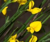 Σπάρτο - άνθη