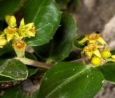 Ράμνος ο αλάτερνος - άνθη