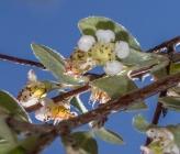 Κοτονήαστρο του Παρνασσού - άνθη