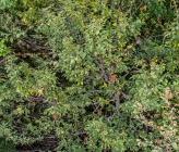 Carpinus orientalis subsp orientalis