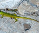 Τρανόσαυρα - υποείδος polylepidota