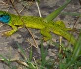 Πρασινόσαυρα - υποείδος viridis, αρσενικό