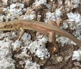 Πρασινόσαυρα - υποείδος viridis, νεαρό