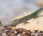 Σιλιβούτι - υποείδος mykonensis