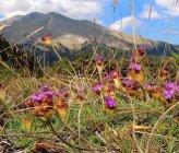 Dianthus androsaceus