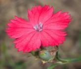Dianthus biflorus