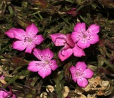 Dianthus corymbosus