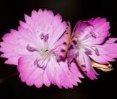 Dianthus gracilis subsp drenowskianus