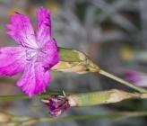 Dianthus gracilis subsp gracilis