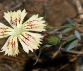 Dianthus haematocalyx subsp phitosianus