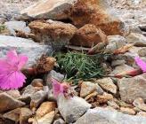 Dianthus haematocalyx subsp ventricosus