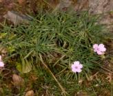 Dianthus juniperinus subsp juniperinus