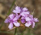 Dianthus pinifolius subsp lilacinus