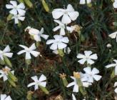 Dianthus xylorrhizus