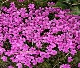 Dianthus myrtinervius subsp caespitosus