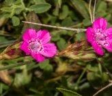 Dianthus viscidus