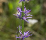 Asyneuma canescens subsp canescens